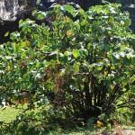 Largekavaplant